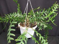 Cryptocereus anthonyanus, Ric Rac Cactus