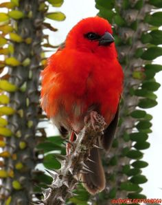 Red Cardinal Fody - Ploceidae family - The Red Fody (Foudia madagascariensis), sometimes known as the Red Cardinal Fody or Common Fody, is a small bird native to Madagascar.