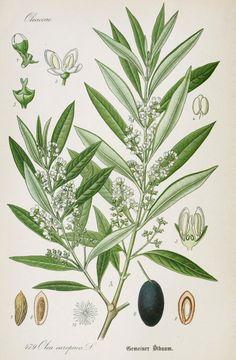 Olive Botanical Illustration from Flora of Germany circa 1903