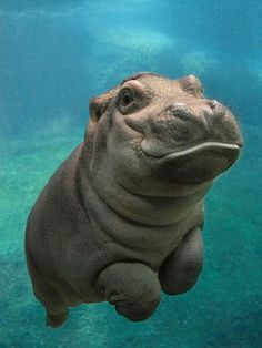 Baby hippopotamus swimming.