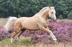 Lovc the palemino colour! Palamino Horse, Andalusian Horse, Friesian Horse, Arabian Horses, Horse Galloping, All The Pretty Horses, Beautiful Horses, Animals Beautiful, Cute Horses