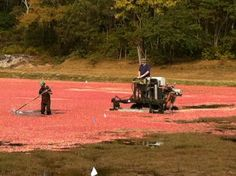 Cranberry Harvesting in Harwich