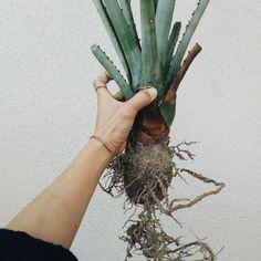 アクシデントで傾き 根っこが出ちゃった ん根っこ こんな立派に根っこ出てたんや めっちゃ嬉しいやないかー  #アガベ #agave #plants #大型 #アクシデント #多肉植物 #succulent #正体不明 #ストリンゲンズ  #マクロアカンサ  #レチュギラ  #リュウゼツラン #アガベ女子 by hatokoruua March 28 2016 at 02:50AM