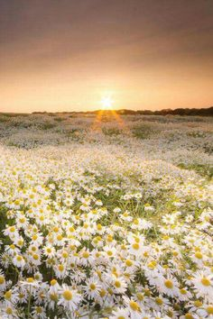 Sunset in a field of daisies