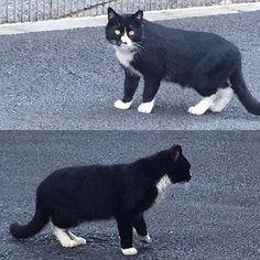 OMG are you a close relative on my cat?! I met him in my neighborhood. Soooo similar to my boy. They might be brothers kkk  Take care🤗💕❤️ 近所でうちこ猫の親戚っぽい子に出会う うちの猫もこのエリアの保護猫だから、本当に親戚かもわからん😆💕しかもこの子は桜耳だから去勢後リリースされたのかな?元気に暮らすんだよ #愛猫 #靴下猫 #cats #ねこ #cat #blackcat #白黒猫 #cute #lovecat #保護猫 #猫 #mycat #me #黒猫 #catslover #catstagram #猫写真 #写真好きな人と繋がりたい #自撮り #cat #ネコ #可愛い #ニャンスタグラム #ペコねこ部 #selfie #ilovecats #instacat #ねこ部 #一眼レフ