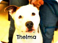 Defiance, OH - Pit Bull Terrier/Australian Shepherd Mix. Meet Thelma, a dog for adoption. http://www.adoptapet.com/pet/17068613-defiance-ohio-pit-bull-terrier-mix