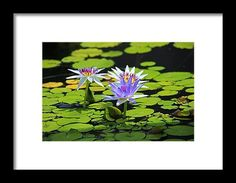 nature, flower, purple, water lily, bloom, michiale schneider photography