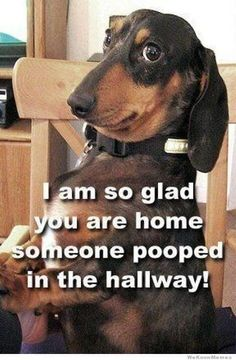 If you love dachshunds then you will love these cute and funny dachshund memes, I love dachshunds!