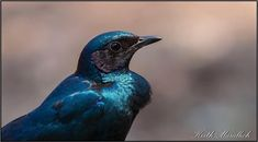 This is a Burchell's that was photographed at one of the picnic sites in the Kruger National Park, Starling, Picnic, Bird, Photography, Animals, Photograph, Animales, Animaux