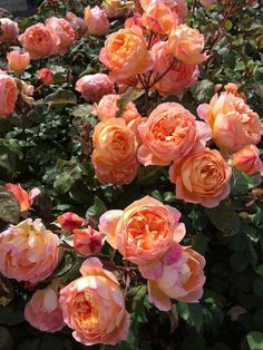 Lady Emma Hamilton English rose Shrub rose Bright blooms with a delicious awardwinning fragrance Glorious blooms of tangerineorange and yellow A strong deliciously fruity. Fleur Orange, Rose Orange, Orange Yellow, Garden Shrubs, Garden Plants, House Plants, Rosas David Austin, Beautiful Roses, Beautiful Gardens