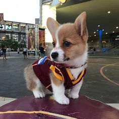 "Learn more information on ""corgi puppies:. Look at our site. Super Cute Puppies, Cute Baby Dogs, Cute Little Puppies, Cute Dogs And Puppies, Cute Little Animals, Cute Funny Animals, Funny Puppies, Cute Corgi Puppy, Corgi Dog"