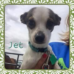 Jet is an adoptable Chihuahua searching for a forever family near Amarillo, TX- Jet is a fun little guy who would loves to cuddle and warm your lap. https://www.petfinder.com/petdetail/32930856/