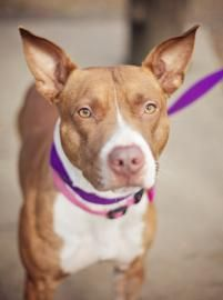 Anastasia is a beautiful one year old pit bull mix. learn more @ www.humaneleague.com