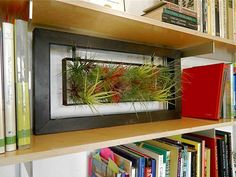 Modern air plant frame on bookshelves. Love this idea!