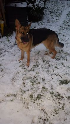 One German Shepherd stuck in Seattle due to airline computer issues and snow storm.