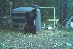Bear hit in nuts while scratching back