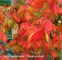 Acer palmatum 'Omurayama' A spreading maple with long arching branches. The fresh green leaves turn gold and crimson in autumn. The leaves are not finely dissected.