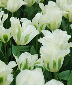 "Spring Green Tulip - Full Sun - 18-20"" - Early Bloom"