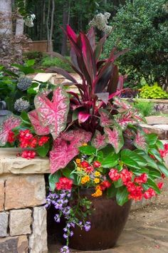 big red plant is cordyline red sister