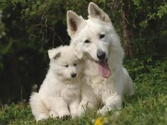 White Shepherds are courageous, keen, alert and fearless. They are cheerful, obedient and eager to learn. Tranquil, confident, serious and clever, White Shepherds are extremely faithful and brave. They will not think twice about giving their lives for their human pack. They have a high learning ability.