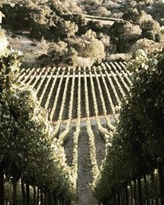 #vine #vineyard