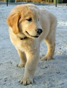 Riggins the Golden Retriever (probably named after Tim Riggins because of the cuteness in common)
