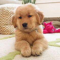 Stop with the cuteness!!! 😍😭💀 @herecomesmaya - ilovegolden_retrievers