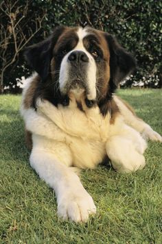 Dog Breed: St. Bernard