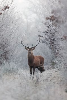 Buck in the snow. - Deer
