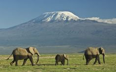 herd of elephants crossing desert, africa - Bing images Herd Of Elephants, Lion Painting, Kilimanjaro, Gentle Giant, African Elephant, Weird And Wonderful, Stunning View, Tanzania, Mammals