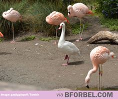 This goose is a flamingo by association