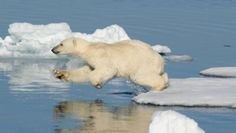 599245 Polar Bear, Animals, Animales, Animaux, Animal Memes, Animal, Animais, Dieren, Polar Bears