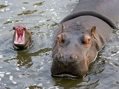 Mom & baby hippo : ''When are we gonna get there ! '' Never, so be quiet! Llamas Animal, My Animal, Cute Baby Animals, Animals And Pets, Funny Animals, Wild Animals, Beautiful Creatures, Animals Beautiful, Fauna Marina