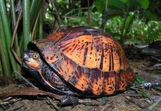 Indochinese Box Turtle (Cuora galbinifrons)
