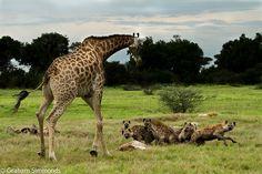 Mother Giraffe watching hyaenas take her still-born baby