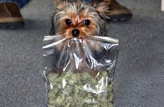 CARSON CITY, Nev. (AP) -- A Nevada senator has introduced a bill that would allow pets to use pot.  Democratic Sen. Tick Segerblom is sponsoring the bill that was introduced Tuesday.  SB372 calls on state officials to issue medical marijuana cards for animals if the animal's owner is a Nevada resident and a veterinarian certifies that the animal has an illness that might be alleviated by marijuana.