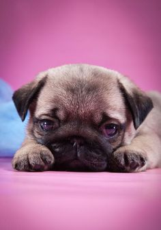 This Pug puppy wants to play!... Click on this image for more pinable #dogs #puppies and #Pug
