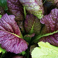 'Japanese Giant Red' Mustard: Let the spicy purple-red leaves grow large, then use them in stir-fries or in soup.