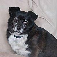 MARTHA - Morganville, New Jersey - #chihuahua. Meet Martha, a for adoption. https://www.adoptapet.com/pet/10451181-morganville-new-jersey-chihuahua-mix