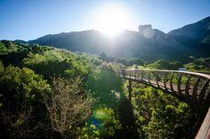 Kirstenbosch Boomslang