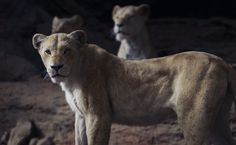 """Why didn't the lionesses just team up to take down Scar, anyway? 17 Questions I Have About The New Version Of """"The Lion King"""" Scar Lion King, Lion King Movie, Lion King Simba, Disney Lion King, Le Roi Lion Film, Disney Live, Walt Disney, Disney Pixar, Simba And Nala"""