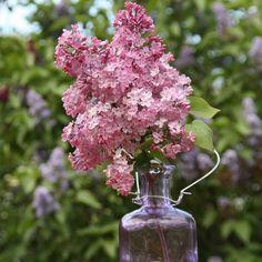 Flieder Syringa hyacinthiflora 'Maidens Blush' - Rosa Flieder - Flieder-Premium Fliedertraum