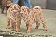 shar pei puppies Of Exclusive and Limited Edition - Qi Ming Xing shar pei kennel - Picasa Web Albums Shar Pei Puppies, Dogs And Puppies, Poodle Puppies, Chinese Shar Pei Dog, Chinese Sharpei, I Love Dogs, Cute Dogs, Wrinkly Dog, German Shepherd Puppies