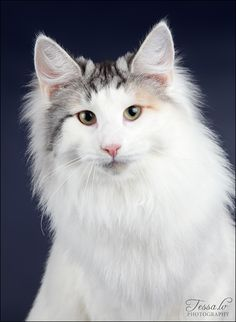 I want one of these some day. Norwegian forest cat