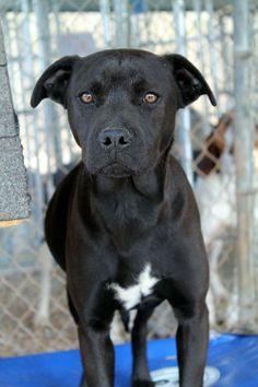 Blanche Labrador Retriever & Terrier Mix • Young • Female • Medium White County Animal Shelter Sparta, TN