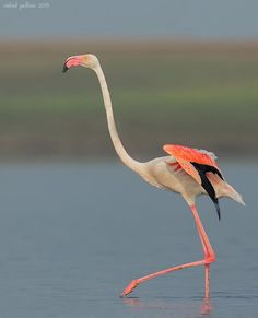 Greater Flamingo.  Morning Walk by Vishal Jadhav