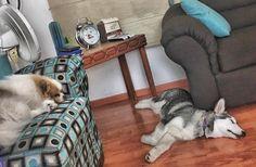 Vida de perros #Cousteauelperroconpersonalidad #Curielahidroalaskanmalamute #CousteauyCurie
