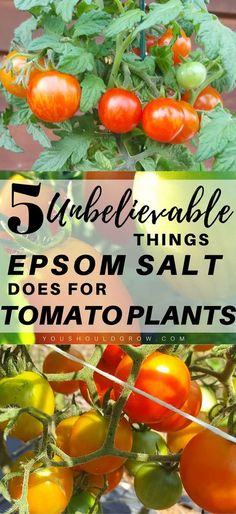 There are several 5 common gardening myths about using Epsom salt for tomato plants. Let's sort out fact from fiction. Find out how using Epsom salt might actually be hindering your garden results. #gardening #tomatoes #organicgardening #gardenhacks via @youshouldgrow