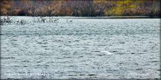 Zwaan maakt kopje onder in het Vogelmeer van De Kennemerduinen