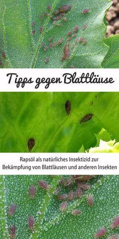 Rapsöl kann als natürliches Insektizid zur Bekämpfung von Blattläusen und anderen Insekten verwendet werden.